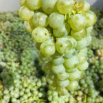 Sauvignon Blanc Fresh Grapes