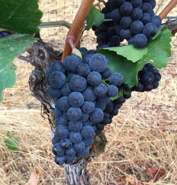 Pinot Grapes for home winemakers