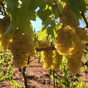 chardonnay, wine grapes, winemaking